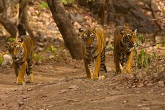 Tiger Panthera tigris tigris T 39 med gröngölingar, Ranthambhore Tiger Reserve, Rajasthan, Indien royaltyfria foton