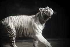 Tiger Panthera Tigris Tigris Staring blanco para arriba imagenes de archivo