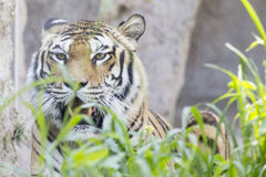 Tiger panting and opening the mouth Stock Images
