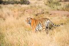Tiger patrolling its territory Royalty Free Stock Image