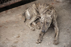 Tiger pattern homeless dog sleep on the dirty floor Stock Photo