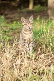 Tiger patterned stray cat sitting in the grass and posing to the Royalty Free Stock Image