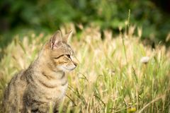 Tiger patterned stray cat sitting in the grass and posing to the Royalty Free Stock Photos