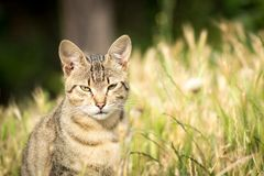 Tiger patterned stray cat sitting in the grass and posing to the Royalty Free Stock Images
