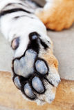 Tiger paw Stock Images