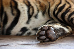 Tiger Paw. The paw of a tiger cub Royalty Free Stock Images