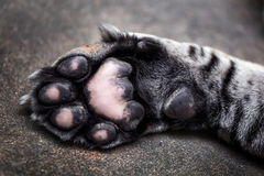 Tiger paw royalty free stock photography