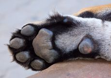Tiger paw from a sleeping tiger. royalty free stock photography
