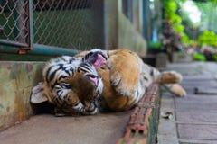 Tiger Paw a strisce arancio di torsione tropicale in bocca in Tiger Tem immagine stock libera da diritti