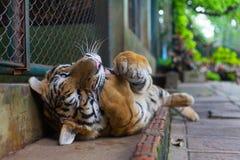 Tiger Paw a strisce arancio tropicale in bocca in Tiger Temple Thail fotografie stock libere da diritti