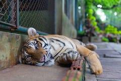 Tiger Paw a strisce arancio tropicale serio in Tiger Temple Thaila immagini stock libere da diritti