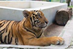 Tiger Paw a strisce arancio tropicale in Tiger Temple Thailand North fotografie stock libere da diritti