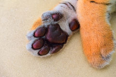 Tiger paws Stock Photography