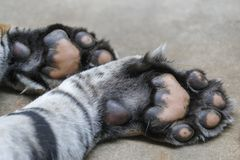 Tiger paws. Large macro foto Stock Images