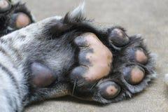 Tiger paws large. Macro foto royalty free stock images