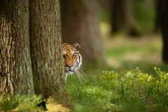 Tiger peeping from behind a tree. Dangerou animal in the forest. Siberian tiger, Panthera tigris altaica stock photos