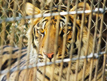 A Tiger Peers Out from its Enclosure Royalty Free Stock Image