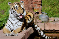 Tiger Perched on Ledge Royalty Free Stock Photos