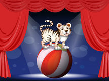 A tiger performing at the circus Royalty Free Stock Images