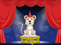 A tiger performing Royalty Free Stock Photo