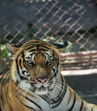 Tiger. This is a photo of tiger Stock Photography