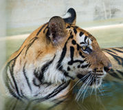 Tiger. This is a photo of tiger Stock Photos