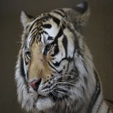 Tiger. In the photo beautiful Stock Image