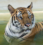 Tiger. This is a photo of tiger that took in thailand Stock Images