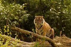 Tiger. Photo of a tiger in the woods Royalty Free Stock Photography