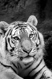 Tiger. Picture of black and white tiger Royalty Free Stock Images