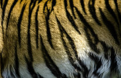 Tiger. A Picture of tiger stripes Stock Image