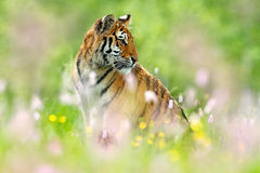 Tiger with pink and yellow flowers. Siberian tiger in beautiful habitat. Amur tiger sitting in the grass. Flowered meadow with dan. Ger animal Stock Photo