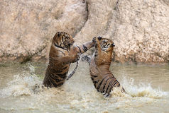Tiger play Stock Image