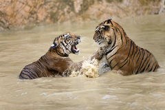 Tiger play. Two tigers are playing in the water Royalty Free Stock Photography