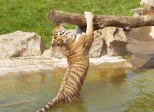 Tiger play Royalty Free Stock Image