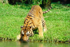 Tiger Play Water Stock Image
