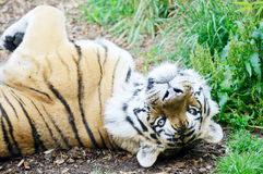 Tiger playful Royalty Free Stock Images