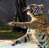 Tiger playing in water Stock Image