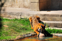 Tiger playing in the water Stock Images