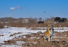 Tiger with pollution. A lonely tiger in a siberian tiger park in Harbin, china.  In the distance there is a smoke stack causing pollution.  It can be a good Royalty Free Stock Photos