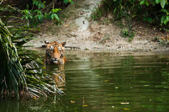 Tiger in pond. A Malayan tiger in pond Royalty Free Stock Photography
