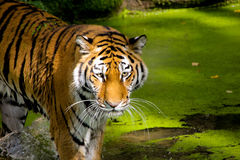 Tiger (Panthera tigris) stock images