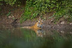 Tiger in a Pond Royalty Free Stock Photos