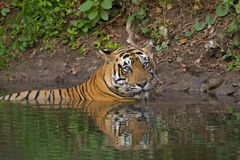 Tiger in a Pond Royalty Free Stock Photo