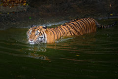 Tiger. Tiger in a pond in the zoo Royalty Free Stock Photos