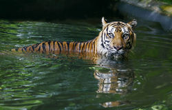 Tiger in pool Royalty Free Stock Image