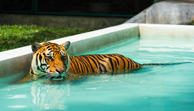 Tiger in pool Stock Image