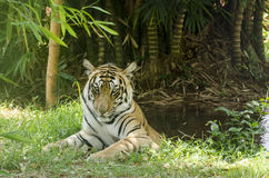 Tiger in Pool Royalty Free Stock Photo
