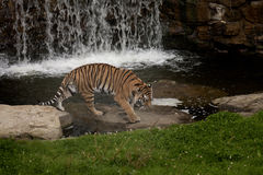 Tiger in the pool. A tiger walks to the pool Royalty Free Stock Photos