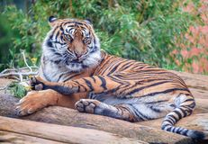 The tiger Panthera tigris is the largest cat species. Tiger populations once ranged widely across Asia, from the Black Sea in the west, to the Indian Ocean in royalty free stock images